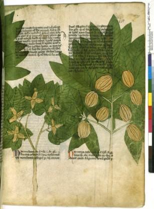 Herbier du 14ème siècle de Manfredus de Monte., extraordinaire déploiement de l'image débordant sur le texte ; la reconnaissance et la mimésis étant essentielles dans le cas très spécifique des herbiers, à vocation thérapeutique , nutritive, voire magique bien sûr.