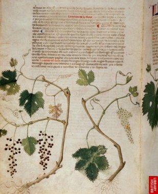 """Herbier italien ( plus modelé, influencé par la peinture """"majeure"""" italienne) Sérapion le jeune, 14ème siècle également."""