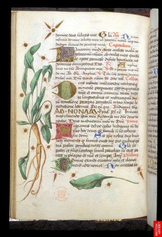 Livre d'heure anglais de Worms, plus proche de l'herbier que du missel, mais les plantes son tici plus décoratives quedansun herbier classique. On s'approche d'une représentation de plus en plus optique et illusioniste.