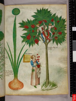 """Herbier du 15ème, incluant les figures relatives à l'usage des plants représentés ; on est à la limite du manuscrit de """"besace"""" et de """"main"""". tant les illustrations sont raffinées."""
