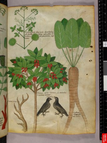 Dioscoride plus récent, du 14e siècle, il y a effectivement peu de variations pour ce type de manuscrit, la définition spécifique du contenu se prêtant moins aux variations et interprétations.