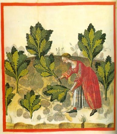 Une autre version du Tacuinum sanitatis de Ibn al Butlan. 15e siècle. La plante est représentée dans un contexte global, identifiée, mais montrée en situation de culture, de récolte et d'usage.