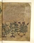 """Extraits d'un """"Dioscoride"""", manuscrit du 8e siècle. Qui sert de référence à de nombreux herbiers ultérieurs."""