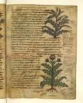 8 dioscoride, sur la matière médicale, Sinaï acanthe