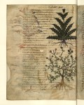 8 dioscoride, sur la matière médicale, Sinaï astragale